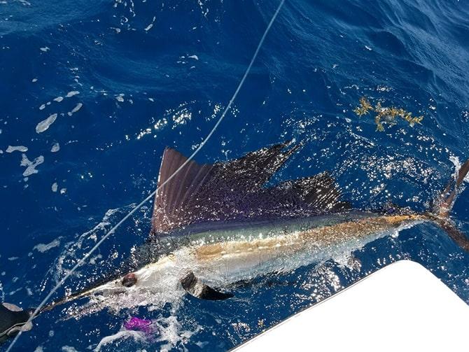 Fish of Port Canaveral Sailfish